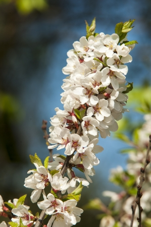 glandular: Flowers of nanking cherry prunus tomentosa in spring  Spring flower  Blooming Rosaceae Beautiful cherry blossom  Pink cherry blossoms in springtime  Ornamental garden with majestically blossoming large cherry trees on a fresh green lawn  Stock Photo