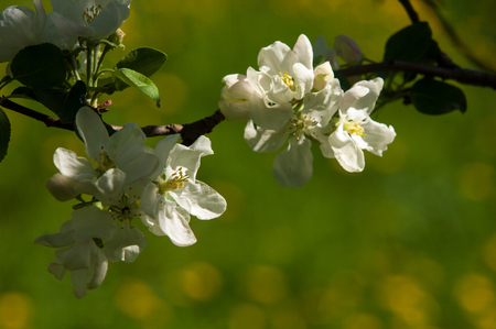 A blooming branch of apple tree in spring. photo of blossoming tree brunch with white flowers on bokeh green background. blossoming tree of an apple-tree. spring season photo