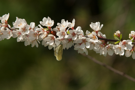 serrate: Flowers of nanking cherry prunus tomentosa in spring. Spring flower: Blooming Rosaceae. Beautiful cherry blossom. Pink cherry blossoms in springtime. Ornamental garden with majestically blossoming large cherry trees on a fresh green lawn