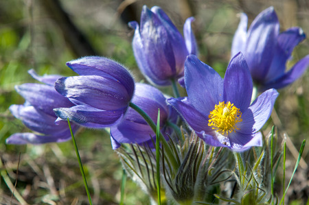 pasque flower, Pulsatilla patens. Pasqueflowers (Pulsatilla patens) on the field with grass. pasque flower. photo