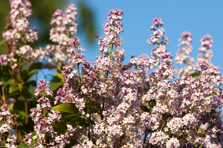 sun lit: Lilacs grow in spring. The setting sun lit up the lilac. The strong aroma of a bouquet of lilacs