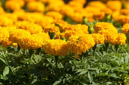 Tagetes. Flowers are planted on the lawn. photo
