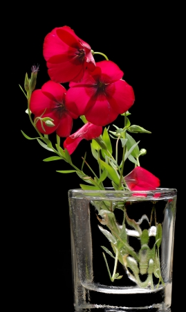 tannins: Paeonia (plant). Magenta peony flower (Paeonia lactiflora).