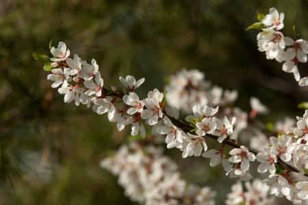serrate: Flowers of nanking cherry prunus tomentosa in spring. Spring flower: Blooming Rosaceae. Beautiful cherry blossom.