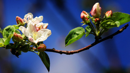 Spring. apple Trees in Blossom photo