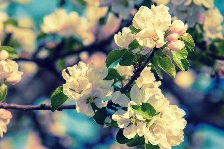 spring. springtime. springtide. prime. Spring blossom: branch of a blossoming apple tree on garden background