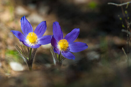 Pasque flowers photo