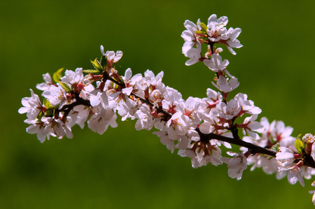 rosaceae: Flowers of nanking cherry prunus tomentosa in spring. Spring flower: Blooming Rosaceae. Beautiful cherry blossom. Pink cherry blossoms in springtime. Ornamental garden with majestically blossoming large cherry trees on a fresh green lawn
