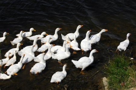 geese swimming in the lake. photo
