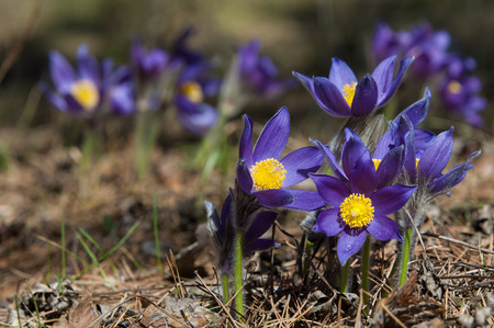 pulsatilla: pasque flower, Pulsatilla patens. Pasqueflowers (Pulsatilla patens) on the field with grass. pasque flower. Stock Photo