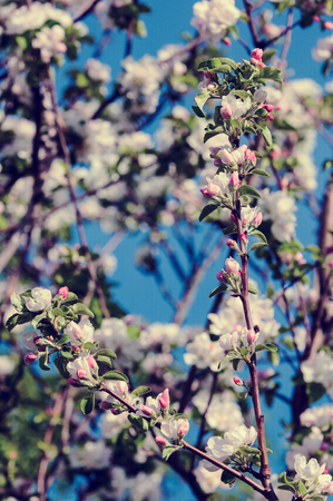 spring. springtime. springtide. prime. Spring blossom: branch of a blossoming apple tree on garden background photo