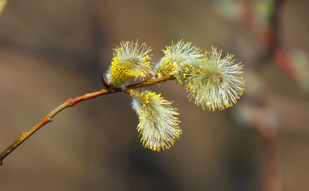 Willow is pollinated by bees photo