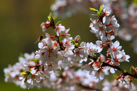 pubescent: Flowers of nanking cherry prunus tomentosa in spring. Spring flower: Blooming Rosaceae. Beautiful cherry blossom. Pink cherry blossoms in springtime. Ornamental garden with majestically blossoming large cherry trees on a fresh green lawn