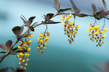 Berberis Ilicifolia. Branch of a blossoming barberry . yellow flowers (barberries) on bush. bee on a flower, photo