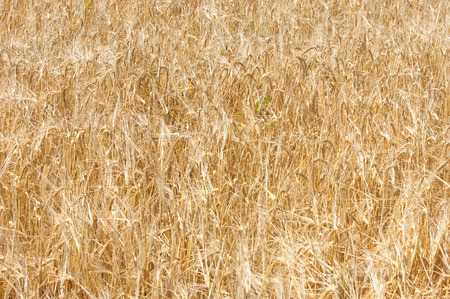 The texture of a wheat field. Golden ripe wheat photo