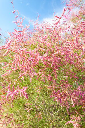 veldt:  steppe, prairie, veld, veldt. Tamariske.  Bright shrub blooms in the desert Stock Photo
