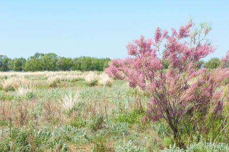 steppe. spring trees in the desert. Tamariske