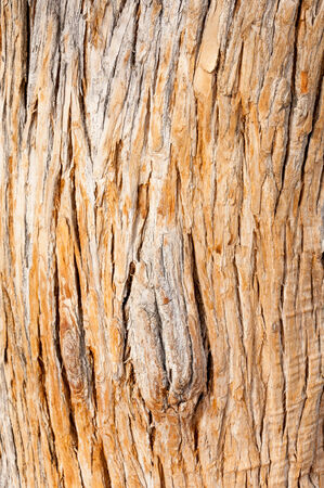 threatened: bark turanga,  Populus pruinosa, turanga, Salicaceae,  Near Threatened,  Euphrates Poplar,  Desert Poplar Stock Photo