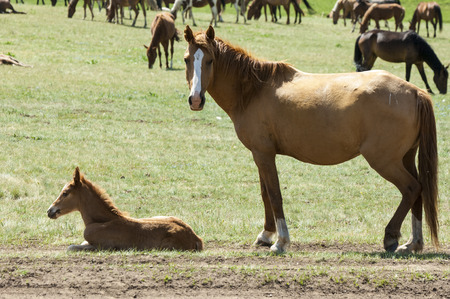 Horses in the mountains, equine, nag, hoss, hack, dobbin. a solid-hoofed plant-eating domesticated mammal with a flowing mane and tail, used for riding, racing, and to carry and pull loads. Stock Photo
