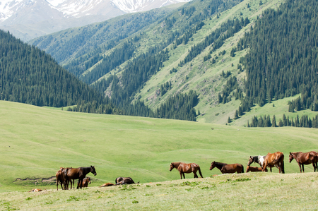 Horses in the mountains, equine, nag, hoss, hack, dobbin. a solid-hoofed plant-eating domesticated mammal with a flowing mane and tail, used for riding, racing, and to carry and pull loads. photo
