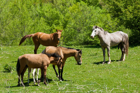 horse pull: horse hoss  a solid-hoofed plant-eating domesticated mammal with a flowing mane and tail, used for riding, racing, and to carry and pull loads  Stock Photo