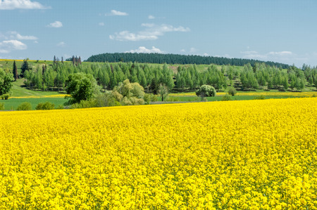 napus: Fields and hills covered in bright yellow canola, colza or rapeseed flowers. Colorful blossom field of colza.