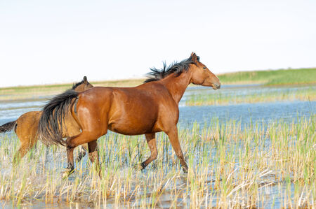 horse, knight, steed, courser, hoss  a solid-hoofed plant-eating domesticated mammal with a flowing mane and tail, used for riding, racing, and to carry and pull loads  photo