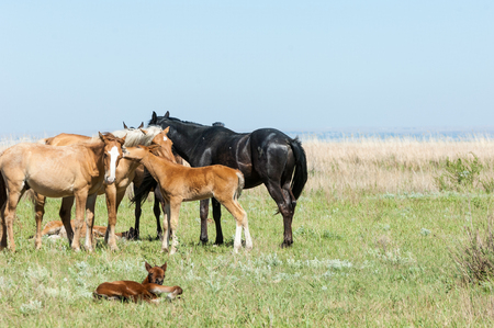 horse pull: horse, knight, steed, courser, hoss  a solid-hoofed plant-eating domesticated mammal with a flowing mane and tail, used for riding, racing, and to carry and pull loads  Stock Photo