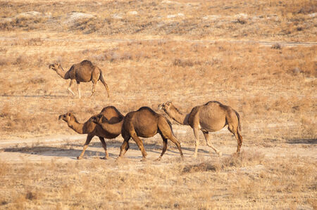 camels in the steppes of Kazakhstan photo