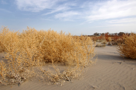 core eudicots: Lone tumble weed is wedged against a ripple of sand. Road in Taukum sands,