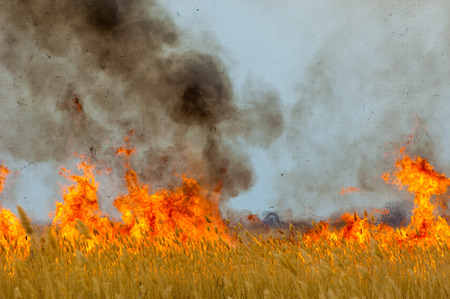 burning reeds. fire. early spring, withered reeds, careless handling of fire Standard-Bild