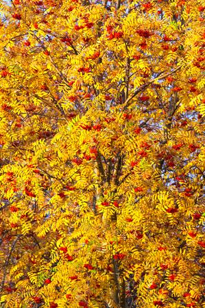 brightest: Rowan nei distretti pi� brillanti, rosso e giallo