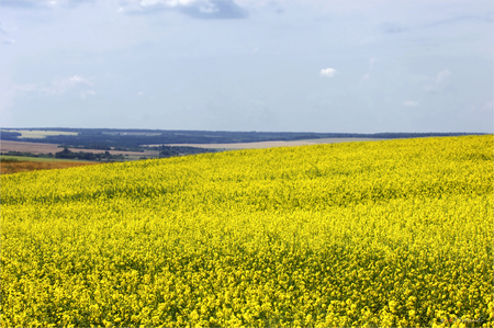 canola plant: field of rapeseed with beautiful cloud - plant for green energy. Colza (Brassica rapa). Rape field, canola crops on blue sky Stock Photo