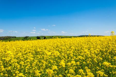 Campi e colline ricoperte di giallo brillante canola, di colza o di colza fiori. Campo di fiore colorato di colza. Archivio Fotografico