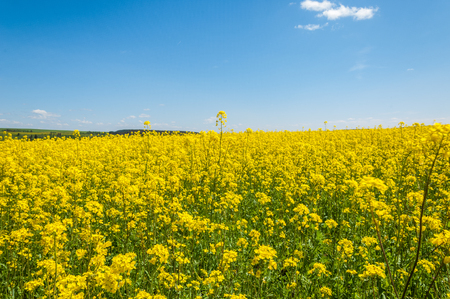 Fields and hills covered in bright yellow canola, colza or rapeseed flowers. Colorful blossom field of colza.