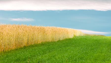 wheatfield: Wheatfield. Golden wheat field in grunge. Gold wheat field. Wheat field landscape.
