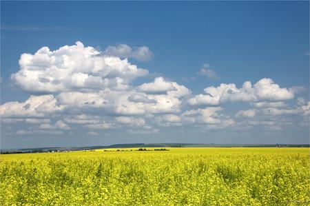 美しい雲 - グリーン エネルギーのための工場での菜種のフィールド。菜種 (アブラナ)。菜の花畑、青空に作物のキャノーラ 写真素材
