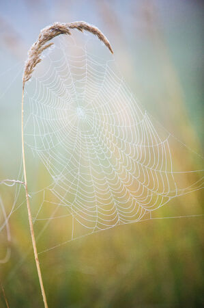 woven web of the spider, dew on a spider web photo