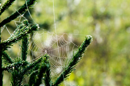morning dew: woven web of the spider, dew on a spider web.  web, cobweb, spiderweb, spiders web, net, tissue Stock Photo