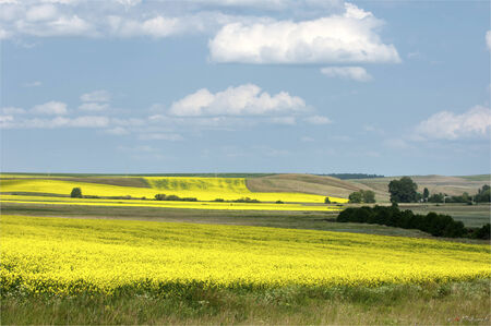 Rapeseed field. Yellow flowers. The bright sun. blue sky photo