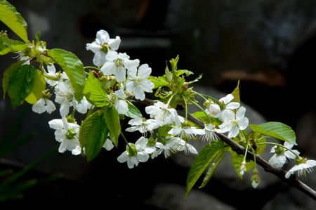 Spring apple trees in blossom flowers of apple white blooms spring apple trees in blossom flowers of apple white blooms of blossoming tree mightylinksfo