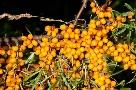 buckthorn: buckthorn berries. sea buckthorn.  Photographed in a forest. Stock Photo