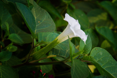 Datura. dope, stramonium, doorn-appel, doornappel. Datura bloemen gefotografeerd in de straat