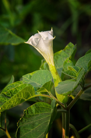 dope: Datura. dope,  stramonium, thorn-apple, jimsonweed.  Datura flowers photographed in the street