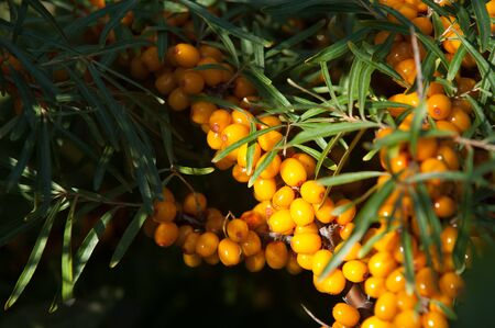 buckthorn: buckthorn berries. sea buckthorn.  Photographed in a forest. Stock Photo