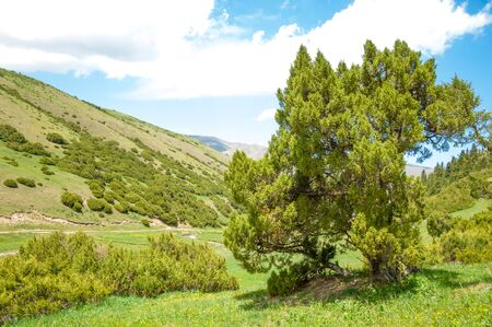 eastern asian: thuja.Tan Shan Mountains . a North American and eastern Asian evergreen coniferous tree of a genus that includes the arbor vitaes. Stock Photo