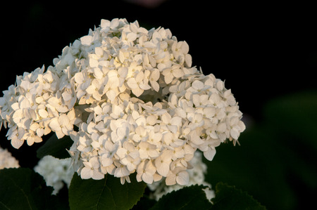 guelder rose: viburnum, guelder rose. Similar to the closely related highbush cranberry, it is widely cultivated in North America. a deciduous Eurasian shrub of the honeysuckle family