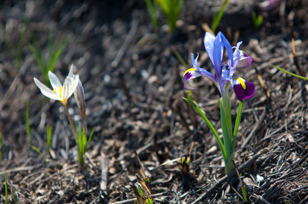 minutiae: Iris pumila. the goddess of the rainbow, who acted as a messenger of the gods.
