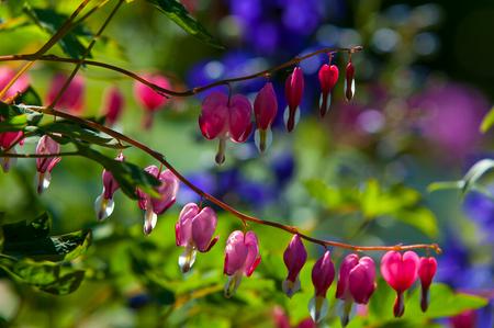 breeches: Lamprocapnos spectabilis. bleeding heart. Asian bleeding-heart. Dutchmans breeches. lyre flower. lady-in-a-bath. is a rhizomatous herbaceous perennial