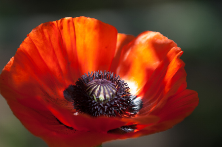 codeine: poppy. a herbaceous plant with showy flowers, milky sap, and rounded seed capsules. drugs such as morphine and codeine